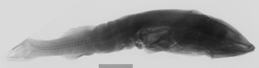 Image of Agassiz's smoothhead