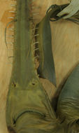 Image of Common Sawshark