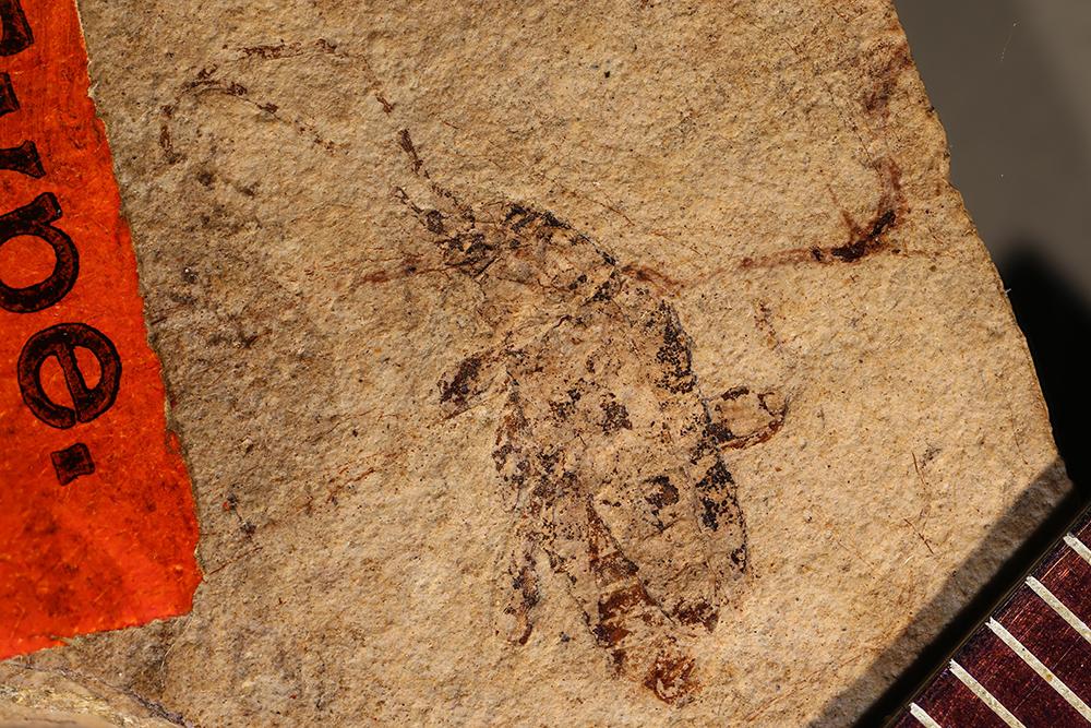 Image of <i>Gaurotes striatopunctatus</i> Wickham 1914