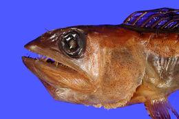 Image of shortnose lancetfish