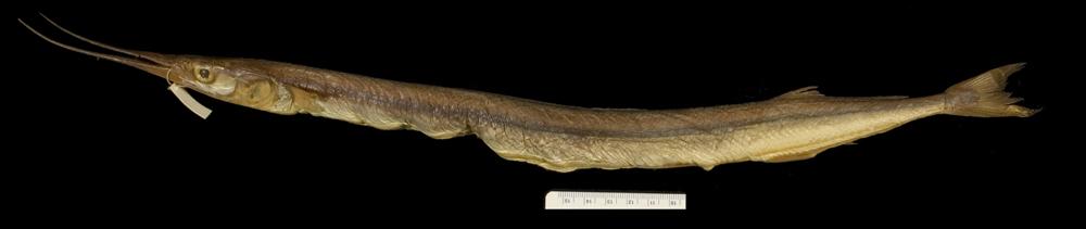 Image of short-beaked garfish