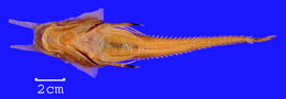 Image of alligator searobin