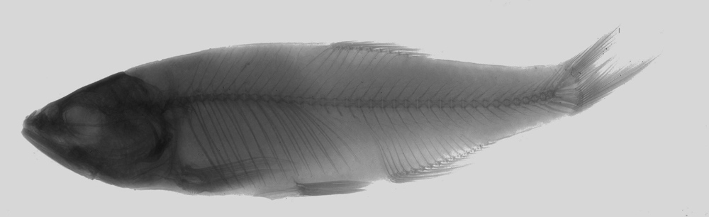 269.4320 barilius gatensis xr c inv jpg