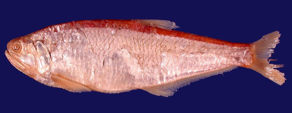 Image of <i>Xenengraulis spinidens</i>