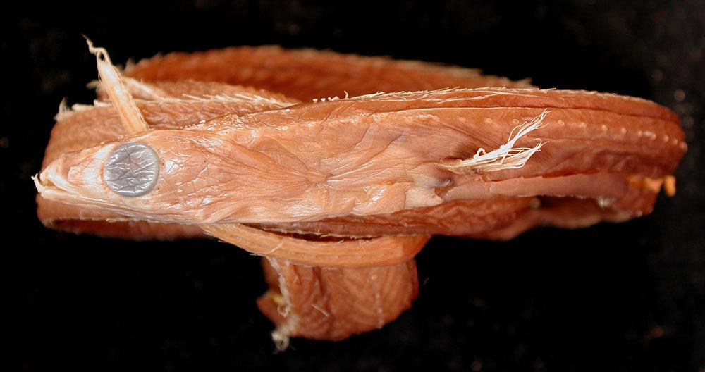 Image of <i>Avocettinops yanoi</i>