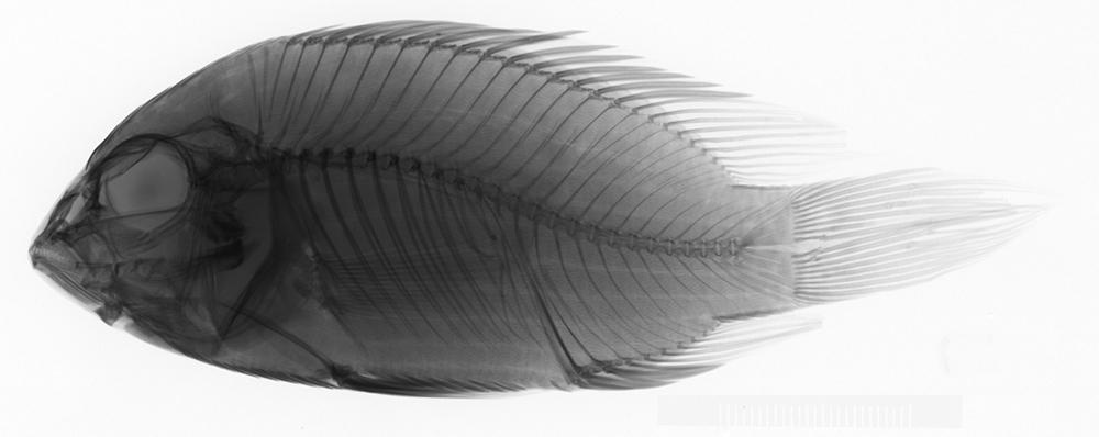 Image of saddle cichlid