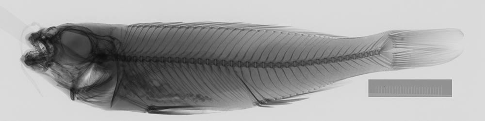 Image of <i>Plecodus paradoxus</i> Boulenger 1898