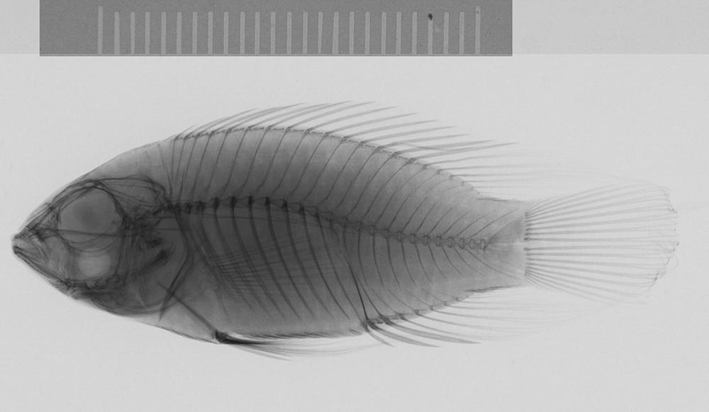 Image of Steindachner's dwarf cichlid