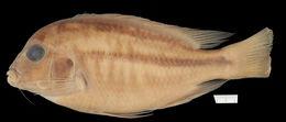 Image of <i>Chilotilapia rhoadesii</i> Boulenger 1908