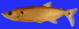Image of <i>Acestrorhynchus altus</i> Menezes 1969