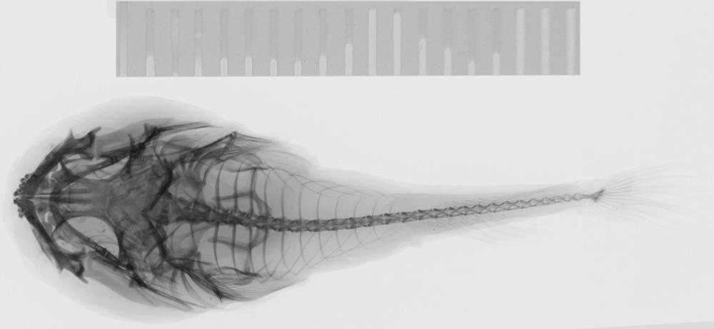 Image of Elegant clingfish