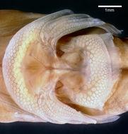 Image of Bifid clingfish