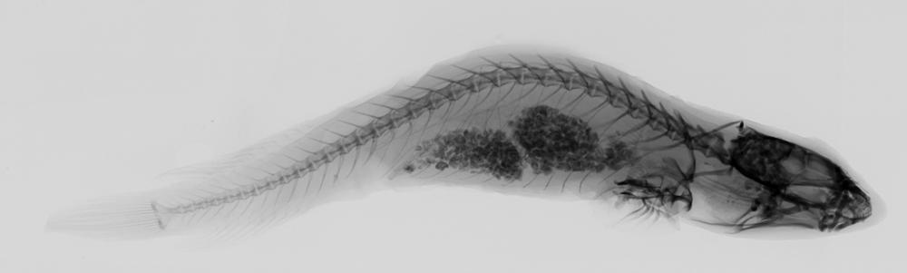 Image of Doubleline clingfish