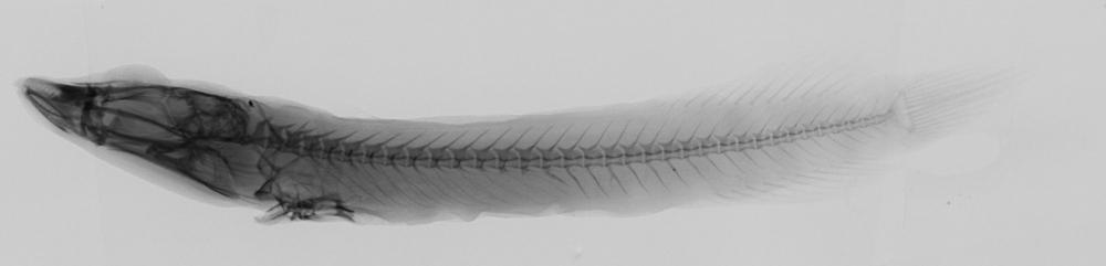Image of Lepadichthys