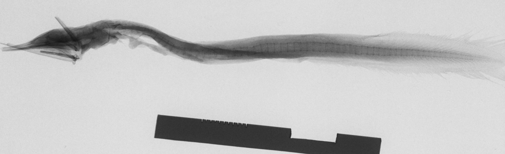 Image of Arrow Eel