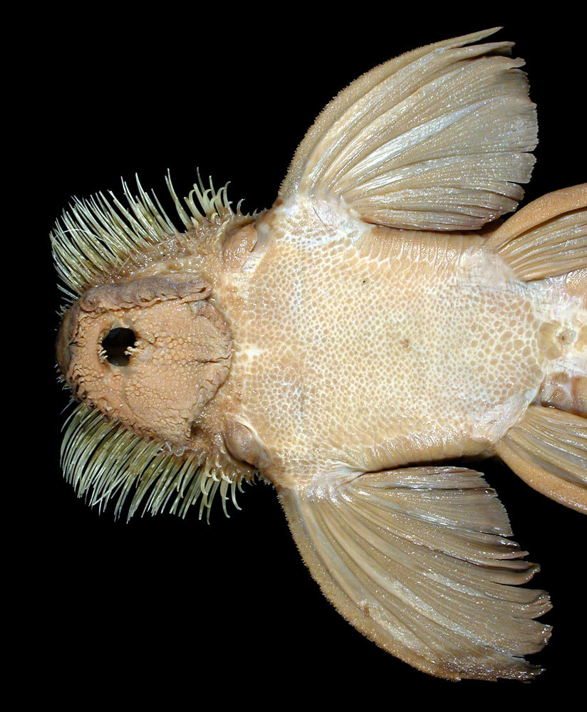 Image of Spatuloricaria
