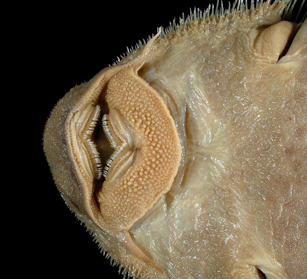 Image of <i>Isorineloricaria spinosissimus</i>