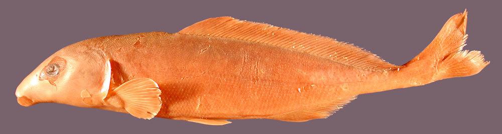 Image of <i>Mormyrus cyaneus</i> Roberts & Stewart 1976