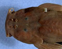 Image of <i>Amphilius zairensis</i> Skelton 1986