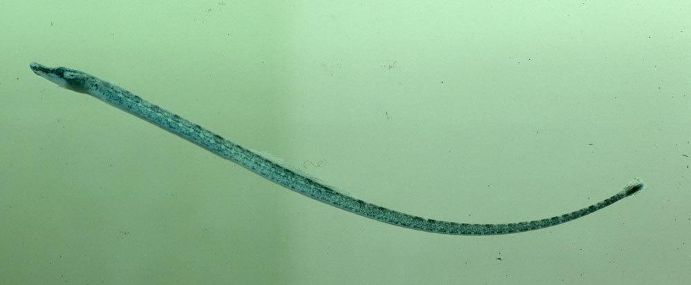 269.52992 pseudophallus starksi jpg