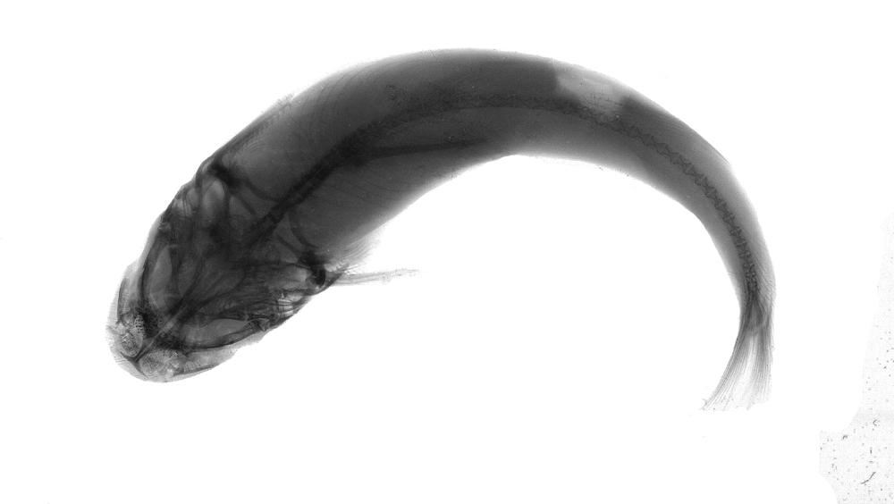 Image of <i>Diplomystes camposensis</i> Arratia 1987