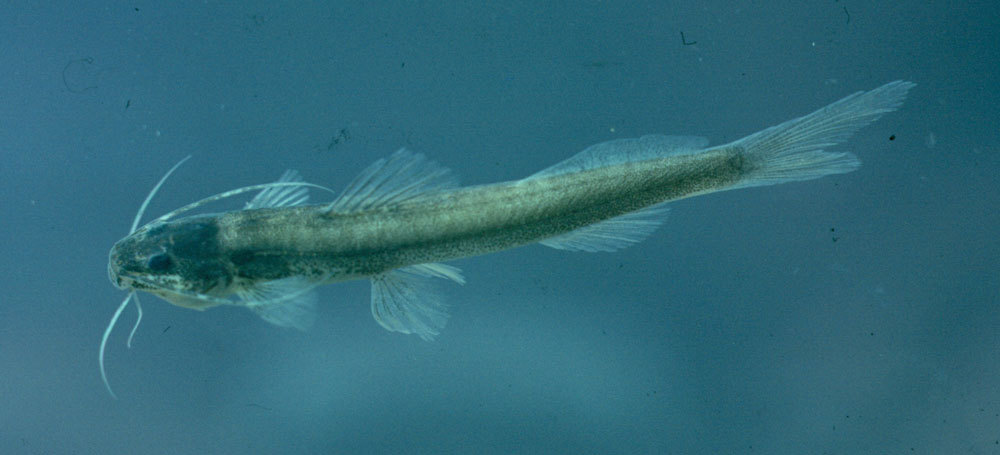 Image of <i>Imparales panamensis</i> Bussing