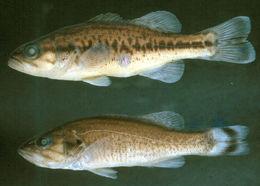 269.57279 micropterus salmoides jpg.260x190
