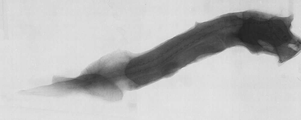 Image of Doublekeeled whalefish