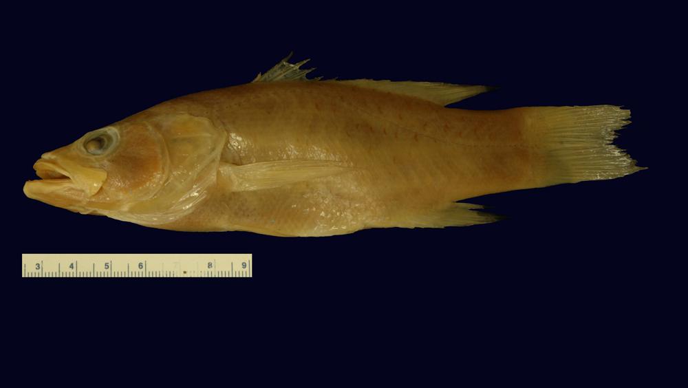 Image of <i>Glaucosoma semilunifera</i> Steindachner