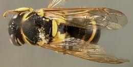 Image of <i>Pachodynerus tibialis barbouri</i> Bequard 1948