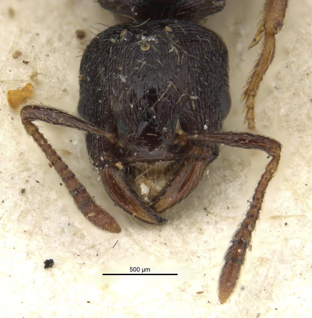 Image of <i>Strongylognathus italicus</i> Finzi 1924