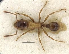 Image of <i>Strongylognathus alboini</i> Finzi 1924