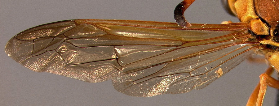 Image of <i>Zeta confusum</i> (Bequaert & Salt 1931)