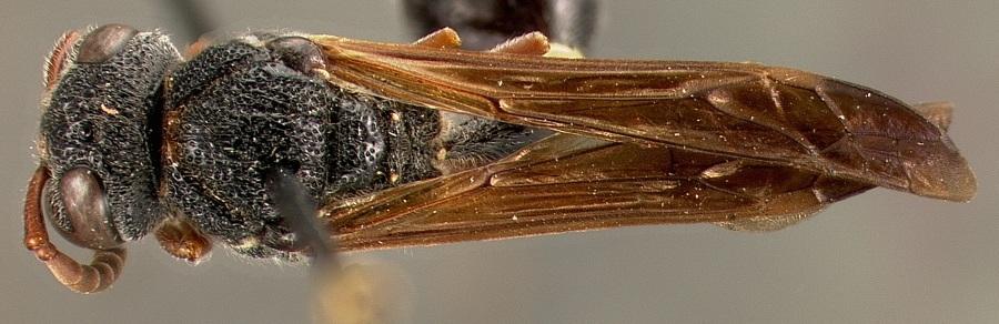 Image of <i>Zethus islandicus</i> Bohart & Stange 1965