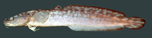 Image of burbot