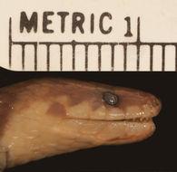 Image of <i>Atractus imperfectus</i> Myers 2003