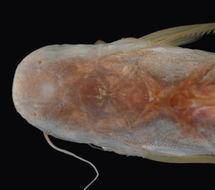 Image of <i>Felichthys flavescens</i>