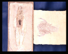 Image of <i>Eryon arctiformis</i> Schlotheim 1820