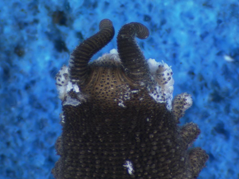 Image of <i>Mesoperipatus tholloni</i> (Bouvier 1898)