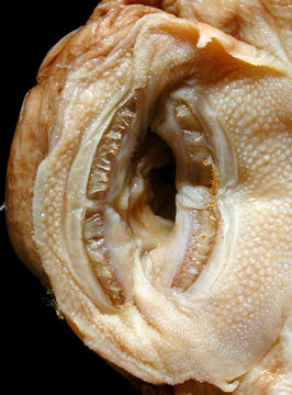 269.77659 ancistrus stigmaticus lt mouth jpg.580x360