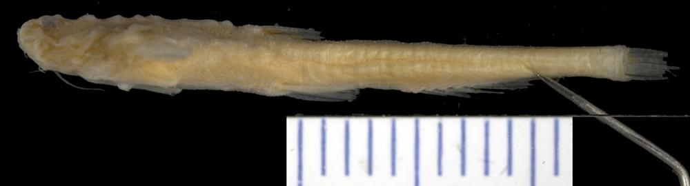 Image of <i>Dysichthys amazonicus</i>