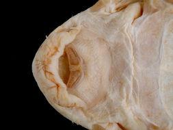 269.7983 ancistrus cirrhosus dubius st mouth jpg.260x190