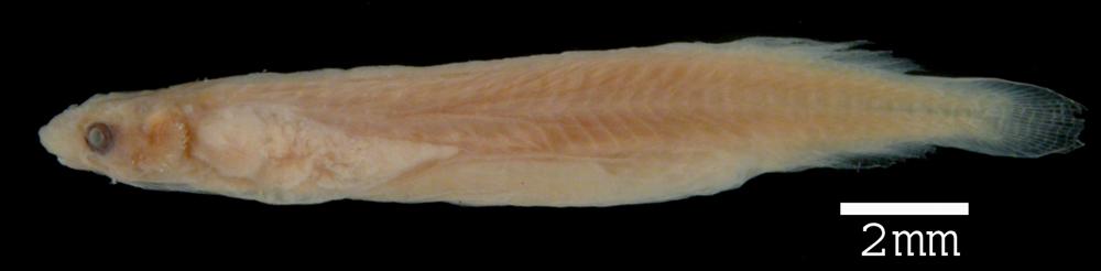 269.8172 miuroglanis platycephalus ht jpg