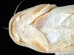 Image of <i>Pygidium immaculatum</i>