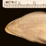 Image of <i>Scincus <i>scincus</i></i> scincus (Linnaeus 1758)