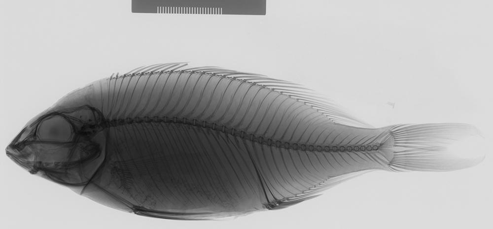 Image of <i>Otopharynx argyrosoma</i> (Regan 1922)