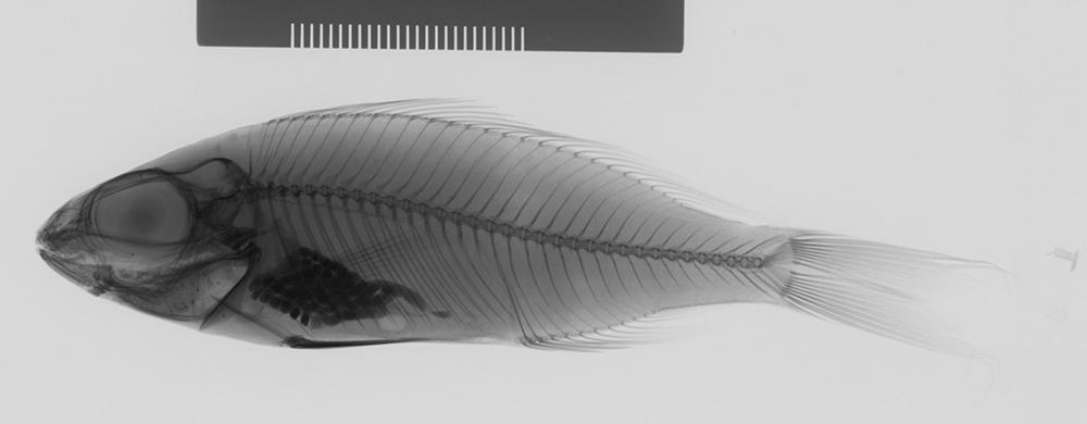 Image of <i>Ectodus descampsii</i> Boulenger 1898