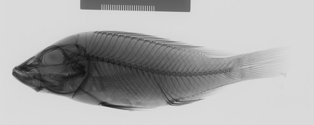 Image of <i>Ctenochromis horii</i>