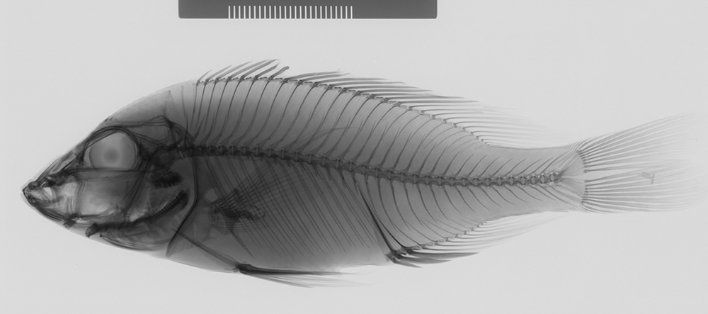 Image of <i>Placidochromis subocularis</i> (Günther 1894)