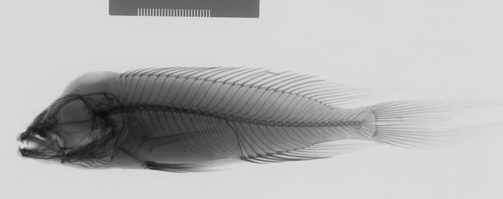 Image of <i>Neolamprologus furcifer</i> (Boulenger 1898)